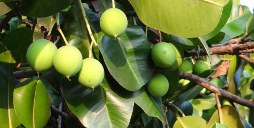 Tamanu Früchte