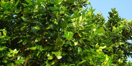 Tamanu Baum